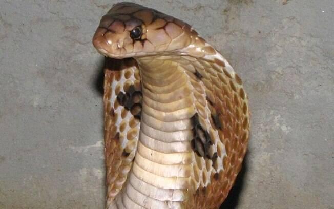 Espécie de cobra é uma das que tem o veneno mais letal