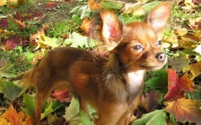 O pequeno cão russo é um dos menores cachorros do mundo!