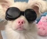 Cachorro albino usa óculos de sol especial para proteção