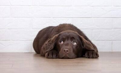 Cães fazem cara de culpa até quando não fizeram nada