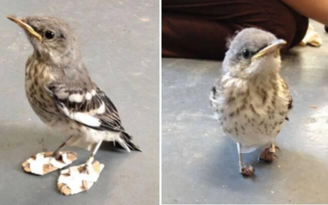 O passarinho ficou alguns dias com o sapato ortopédico