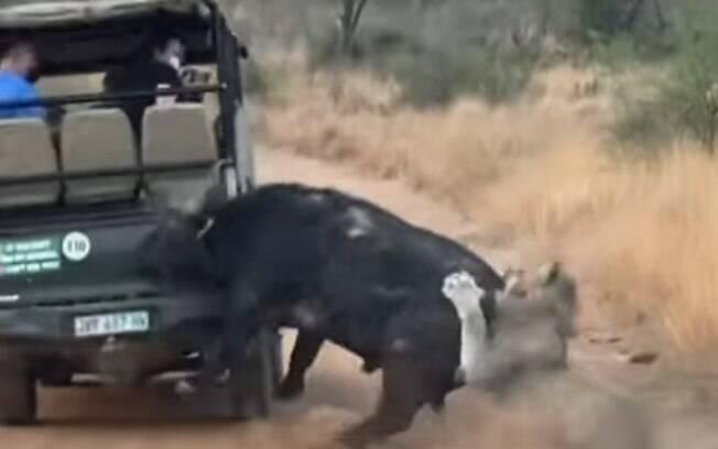 Búfalo batendo em carro