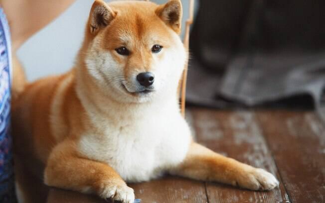 O Shiba Inu possui a cabeça mais arredondada