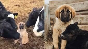 Cãozinho recebe carinho de amigas vacas em vídeo fofo