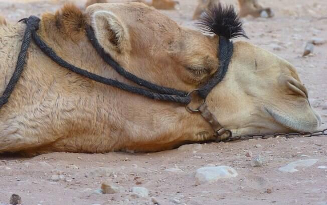 Camelos foram trazidos para a Austrália em 1840