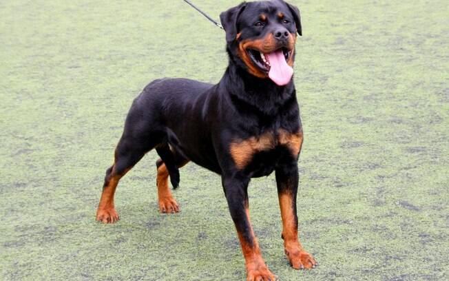 O Rottwailer entra para a lista dos cachorros inteligentes por sua capacidade de atenção e observação