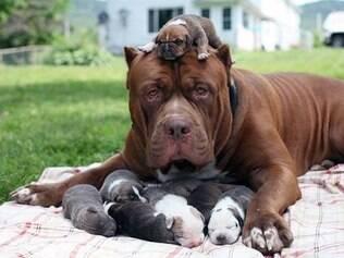 Maior pitbull do mundo gera 8 filhotes