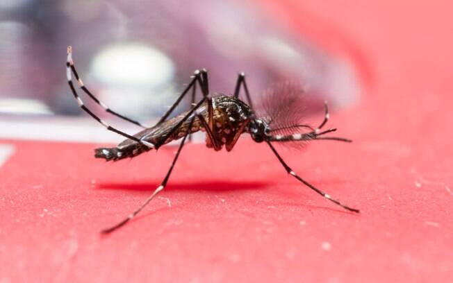 O mosquito Aedes aegypti: além do zika a humanos, ele transmite dirofilária mortal a cães