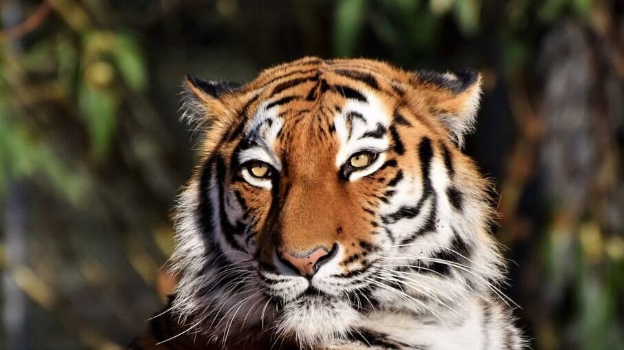 Tigres de Sumatra são diagnosticados com Covid-19 em zoológico na Indonésia