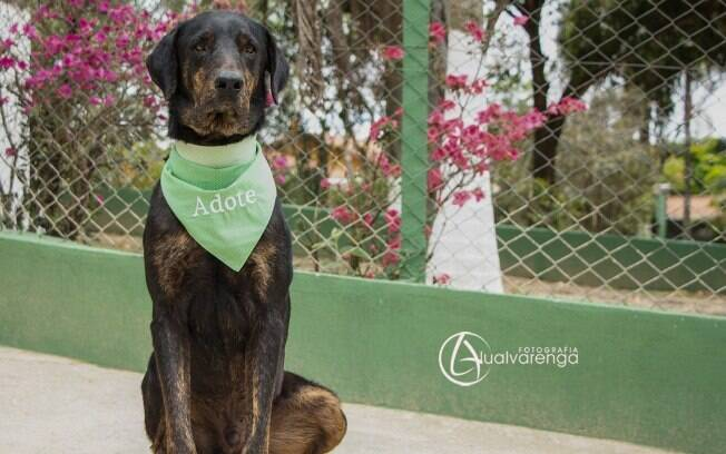 Gigante é um dos cachorros para adoção da ONG Anjos dos Bichos