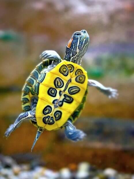 É importante que a tartaruga se movimente de forma confortável no aquário