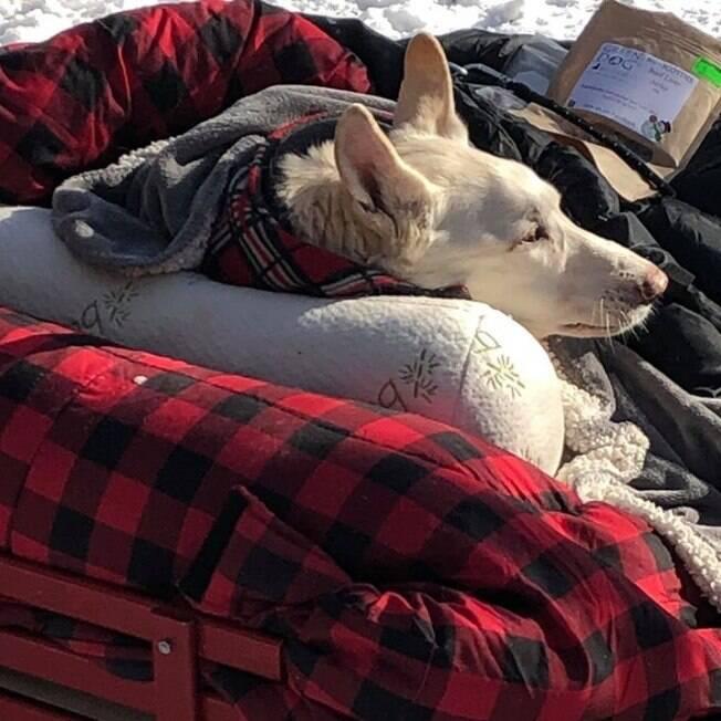 Cão paralisado em carrinho improvisado