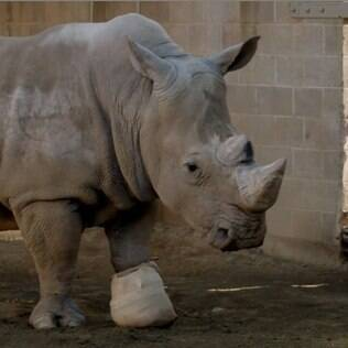 Rinoceronte com a pata engessada