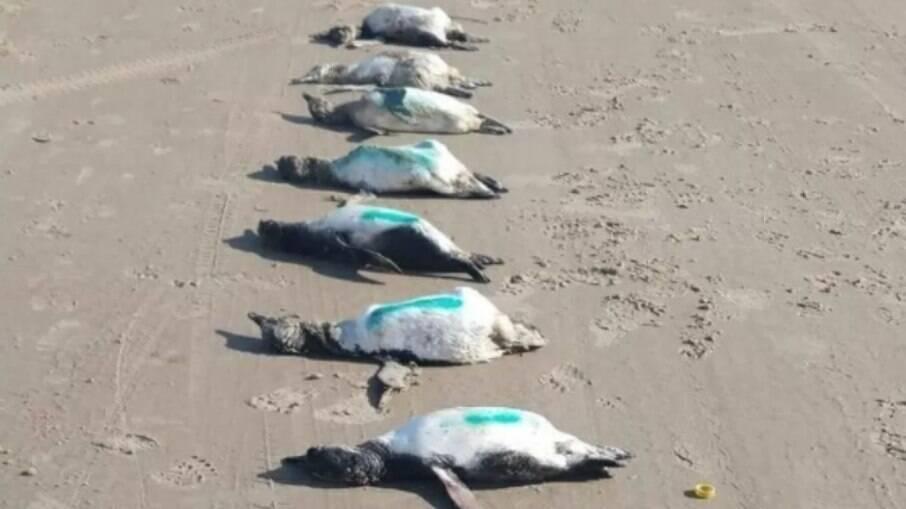 59 pinguins foram encontrados mortos em praia de SC