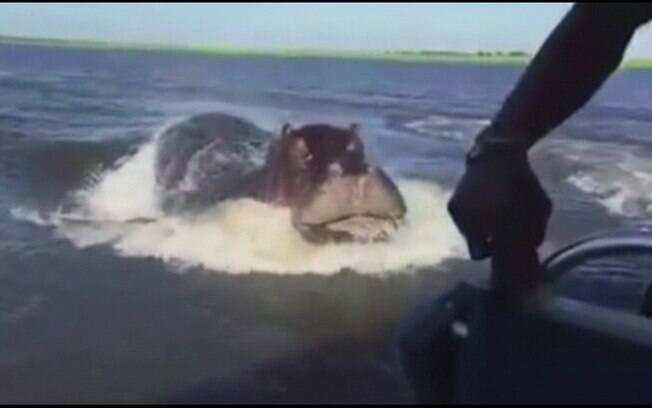 Lancha de safári escapa por pouco de bote de hipopótamo