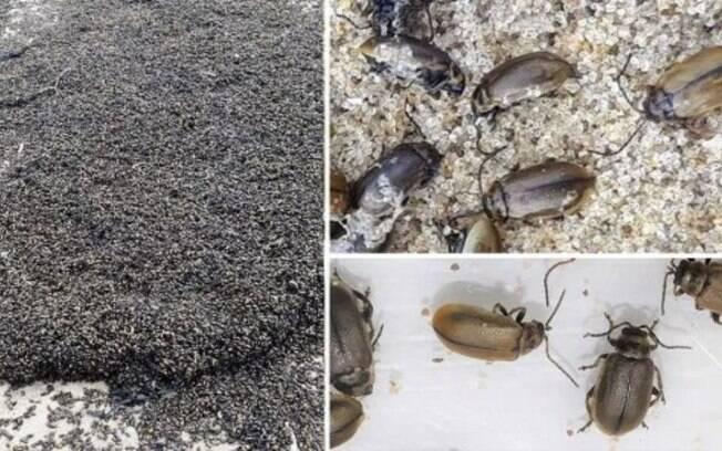 Eles são mais conhecidos como besouros de urze, porque se alimentam da plantas