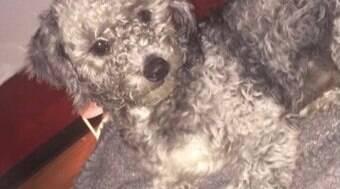 Cão identificado por microchip some e é dado a outra família