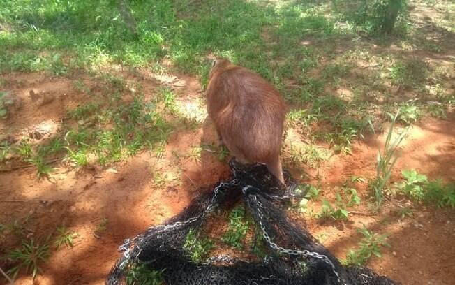 Animal foi resgatado pela Polícia Militar Ambiental do Mato Grosso do Sul neste sábado.