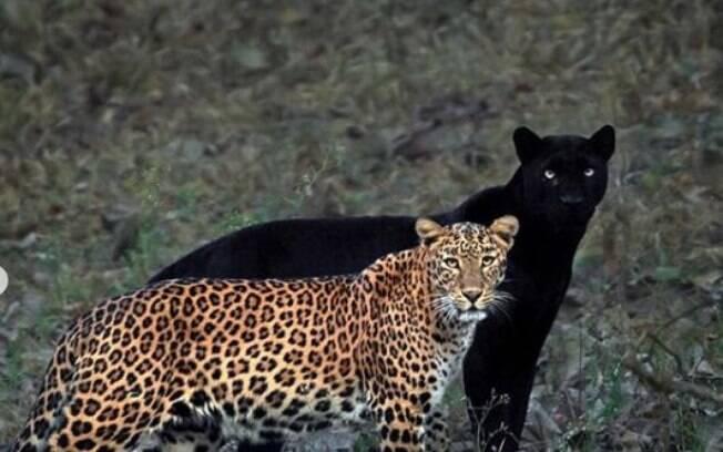 O fotógrafo Mithun registrou o momento raro da pantera negra ao lado do leopardo