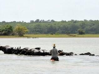 Marajó guarda o maior rebanho de búfalos do Brasil