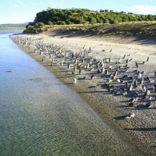Pinguinera, com centenas de pinguins esperando a troca de pelo para voltar às aguas