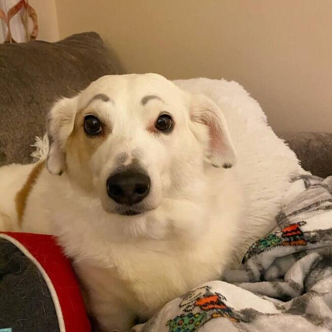 Cão com sobrancelha