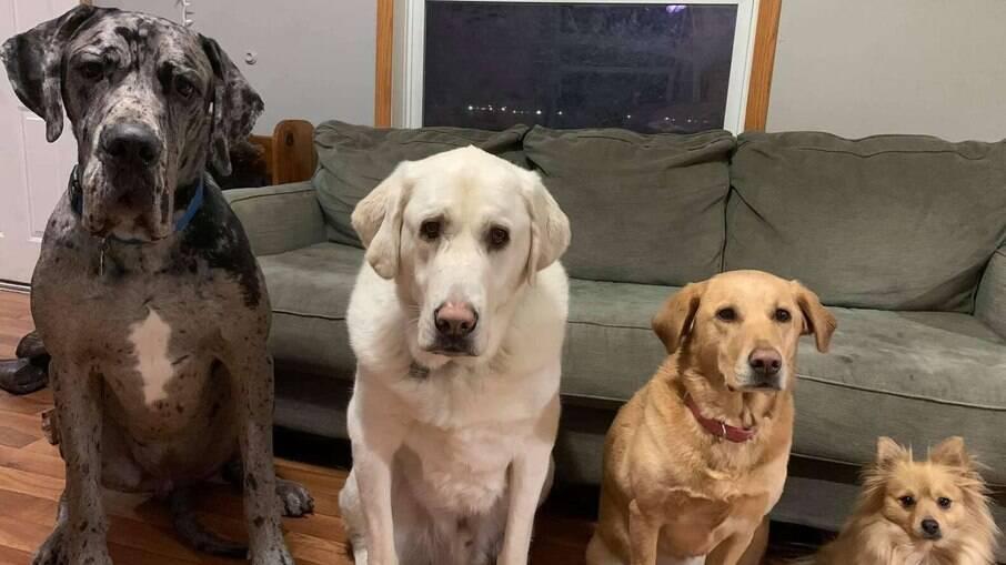 Fotos registram crescimento de cachorro da raça Dogue Alemão, comparando aos seus irmãos caninos