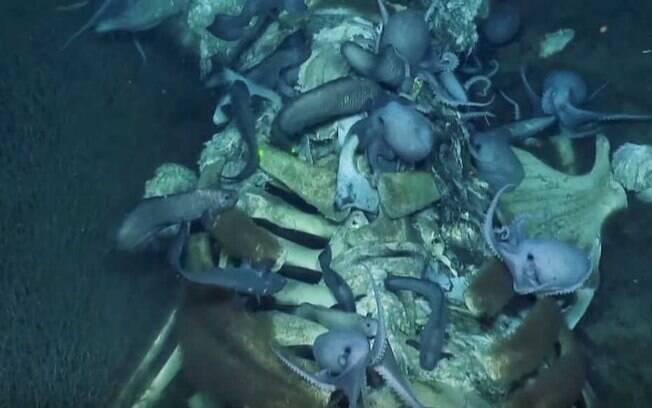 Bactérias, polvos, enguias e outros animais estão se abrigando nos restos do mamífero.