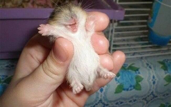 Hamster sorrindo bem feliz.