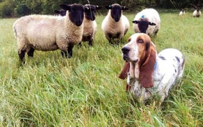 Cachorrinha é quem comanda o rebanho de ovelhas, confira