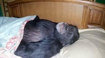 Chimpanzé é morto a tiros após atacar a dona