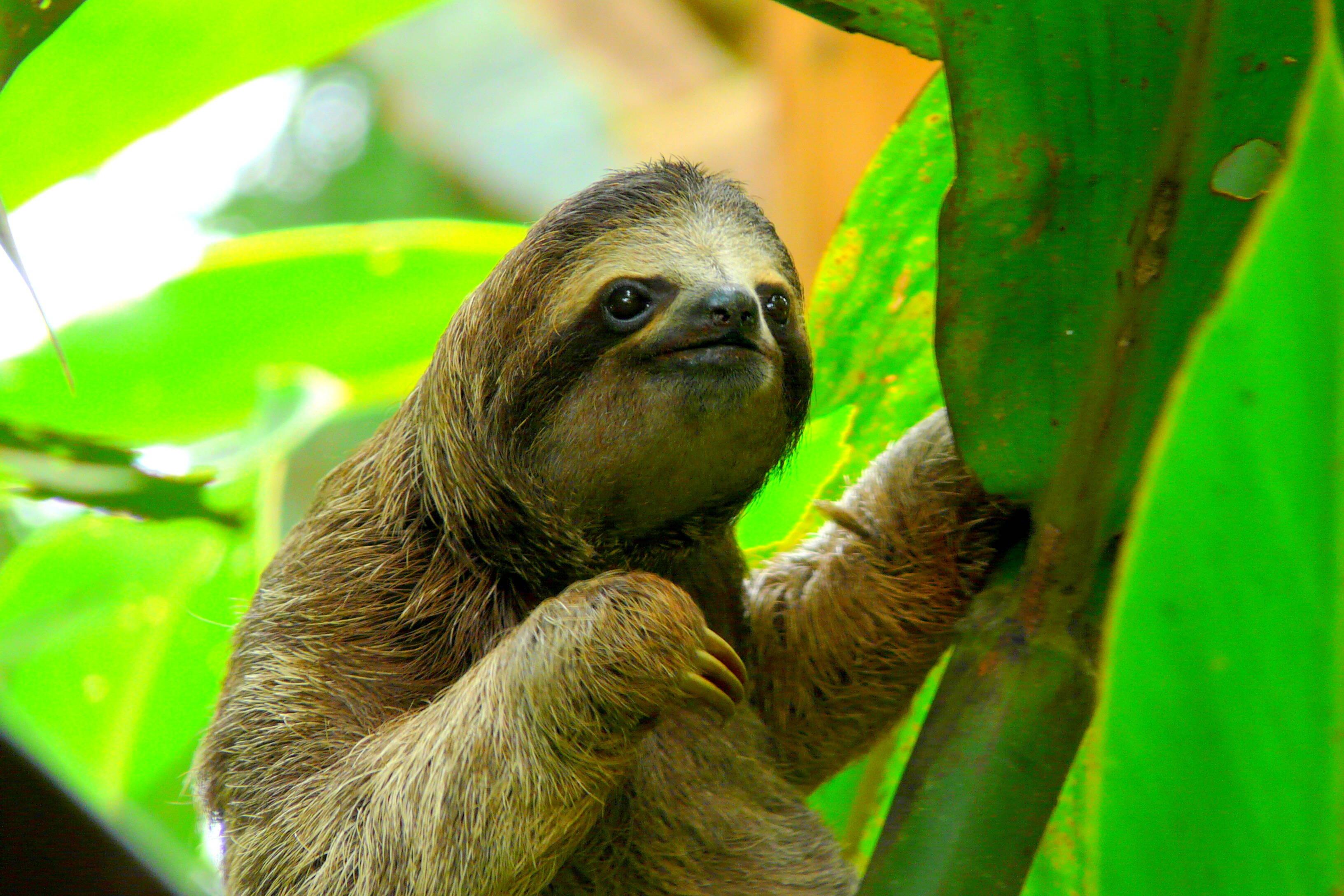 As reservas de vida selvagem da costa rica também são ricas em biodiversidade de mamíferos como macacos, preguiças e felinos. Foto: shutterstock