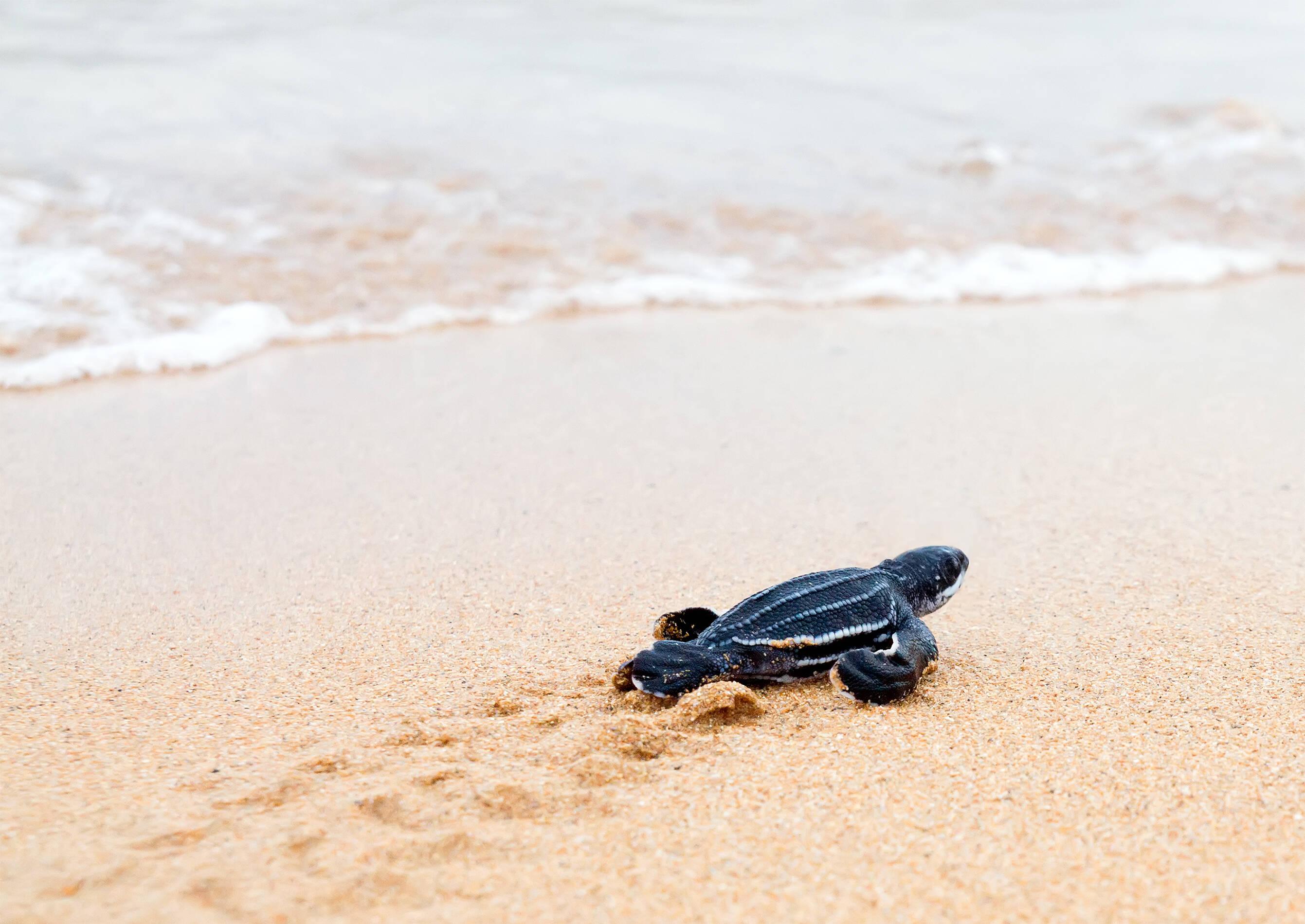 A desova das tartarugas-de-couro e de outras espécies de tartarugas é um grande atrativo nas praias e reservas da Costa Rica. Foto: shutterstock