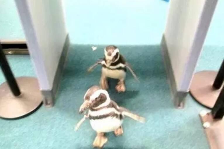 Pinguins passando pela área de segurança.... Foto: Reprodução/Internet