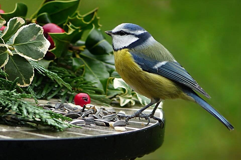 Frutinhas e sementes são alimentos perfeitos para os pássarinhos. Foto: Pixabay