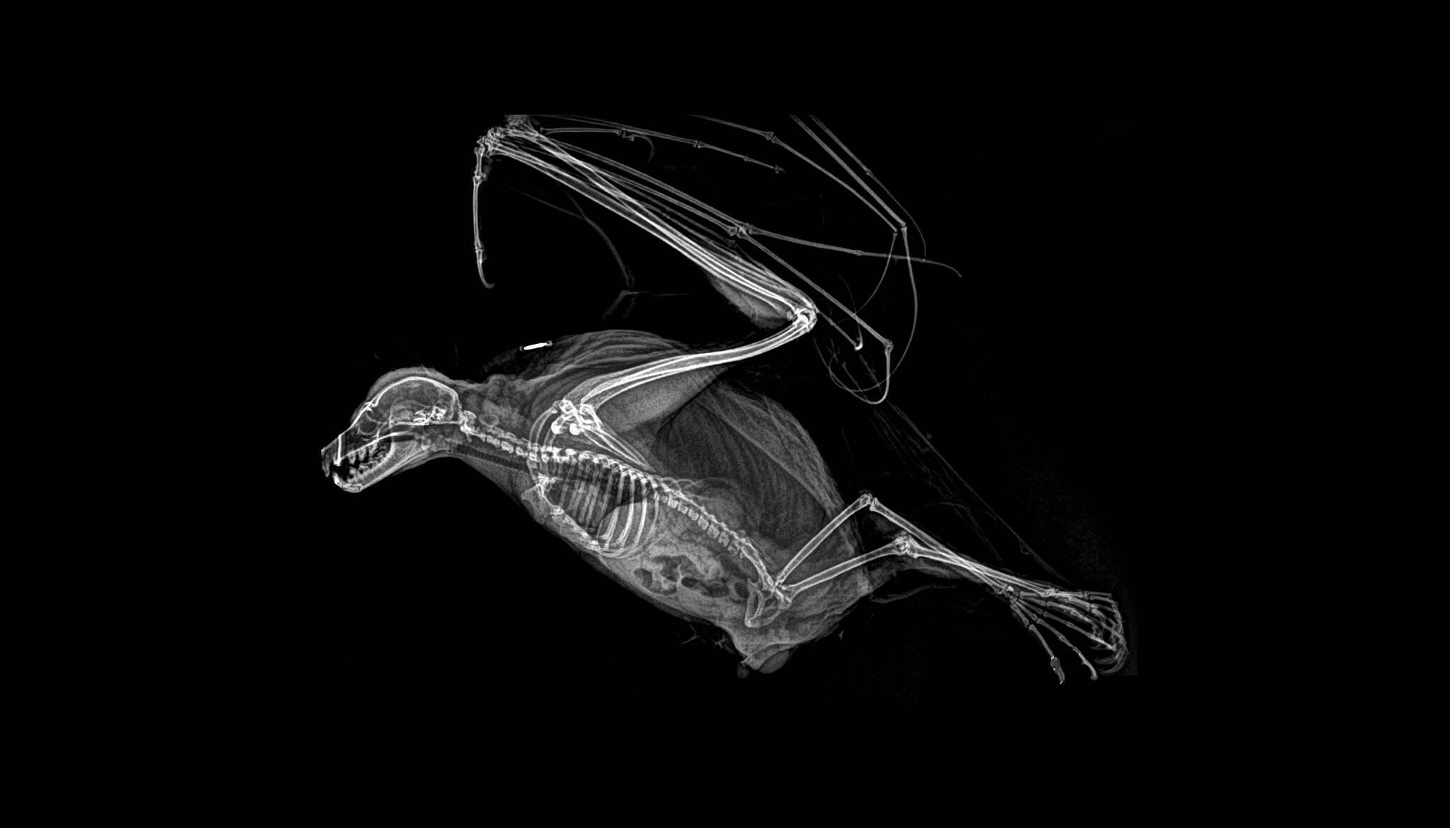 Raio-x de uma raposa-voadora Rodrigues. Foto: Divulgação/Oregon Zoo