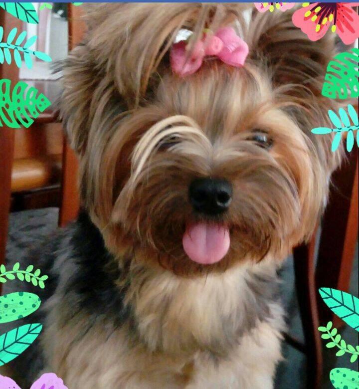 Esta é a Liz, a cachorrinha da Valeria. Amamos o lacinho rosa!. Foto: Valeria Corradi
