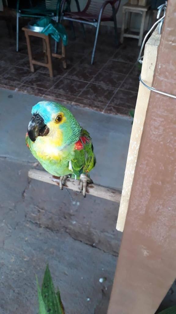 Este papagaio passou décadas na vida da família e continuará preservado . Foto: Reprodução/SOS Animal