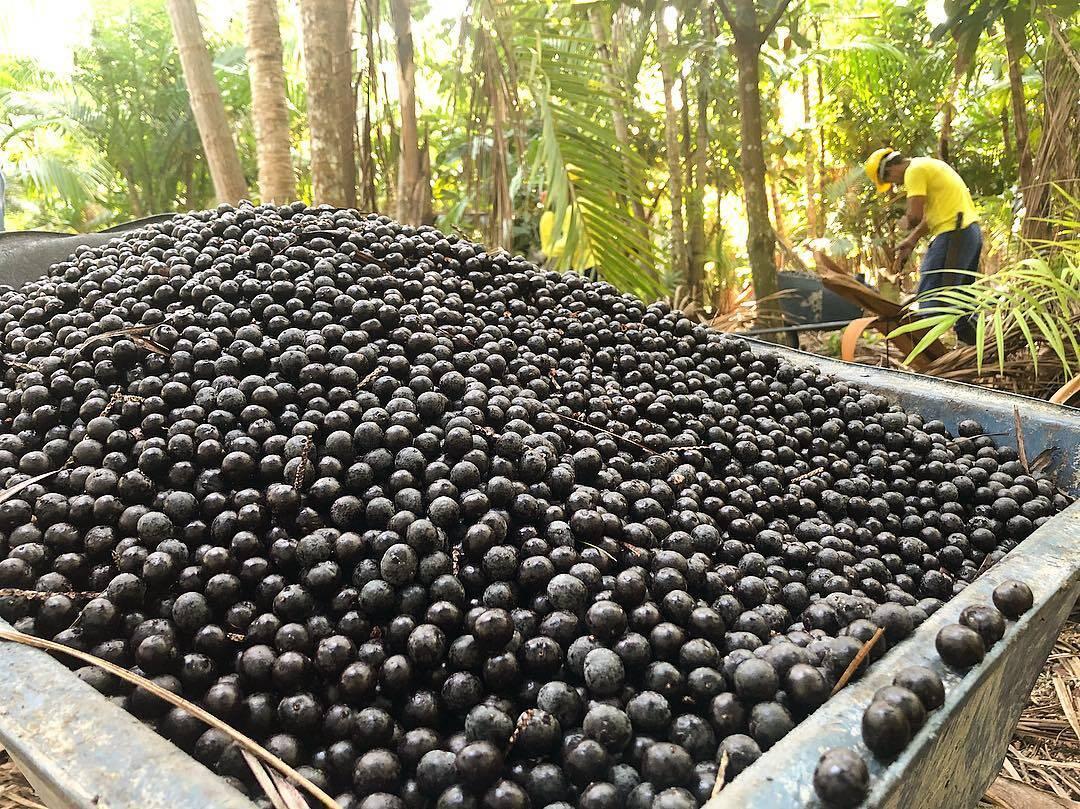 Após a colheita, a fruta é colocada em caixas de plástico para facilitar o transporte e manuseio . Foto: Instagram/Fazenda Bom Sossego