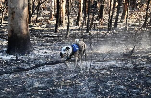 Os incêndios em que Bear atuou aconteceram entre 2019 e 2020 e chocaram o mundo. Foto: IFAW