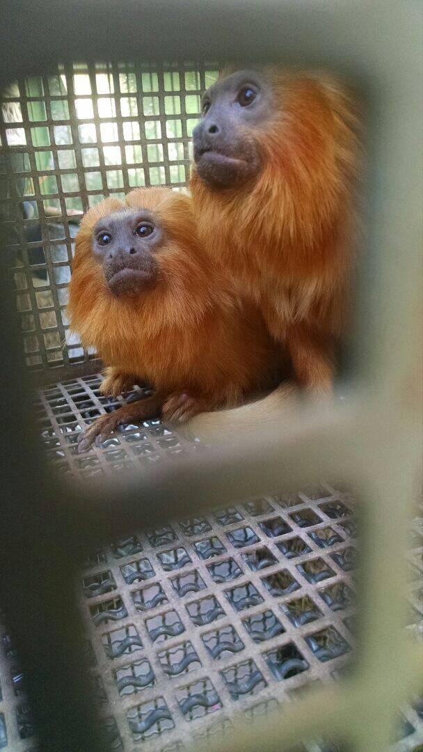 Polícia Militar Ambiental localizou em Embu das Artes um cativeiro com 19 primatas da fauna silvestre. Foto: Divulgação/Polícia Militar Ambiental