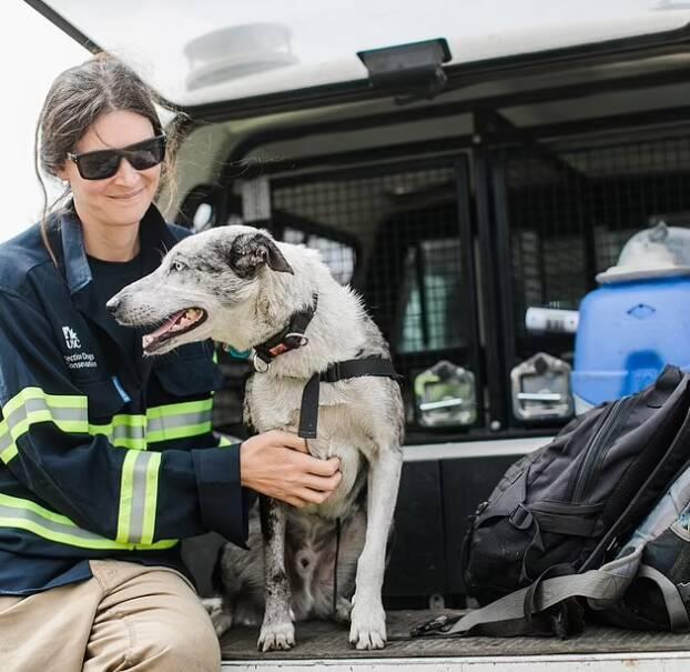 """""""Ele tem sido um garoto muito bom ao nos ajudar"""", diz Romane Cristescu, tutora de Bear. Foto: IFAW"""