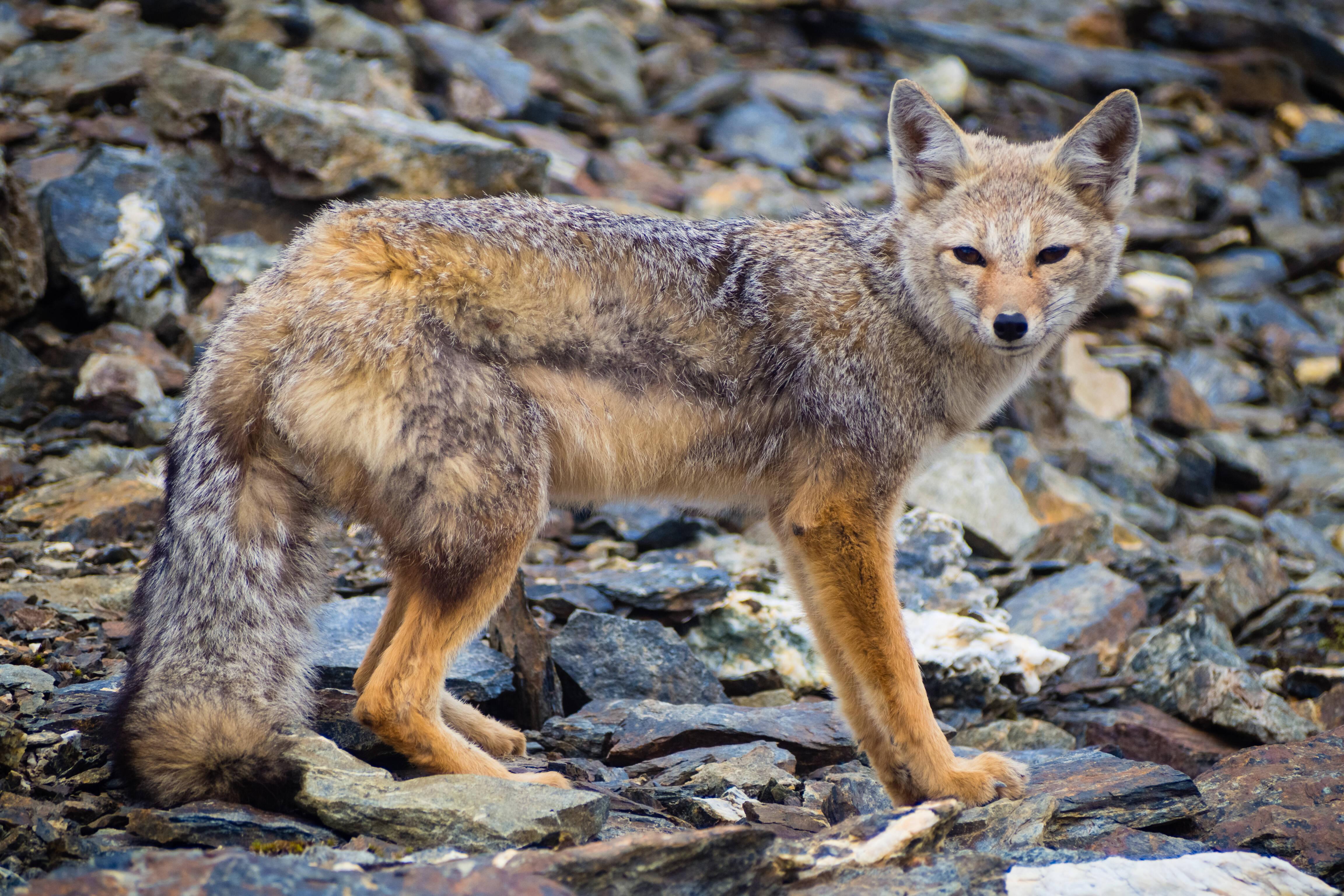 Espécies de fora da região, como a raposa cinzenta, foram trazidas pelos colonizadores europeus, e acabaram desestabilizando o ecossistema. Foto: shutterstock
