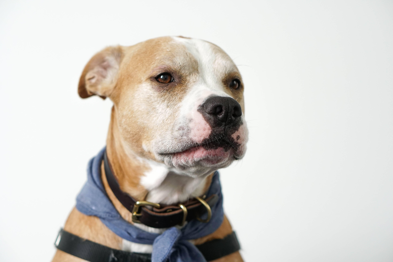 """Pitbulls se dão muito bem com crianças e cães da raça já """"trabalharam"""" como babas . Foto: Unsplash/Shelley Kim"""