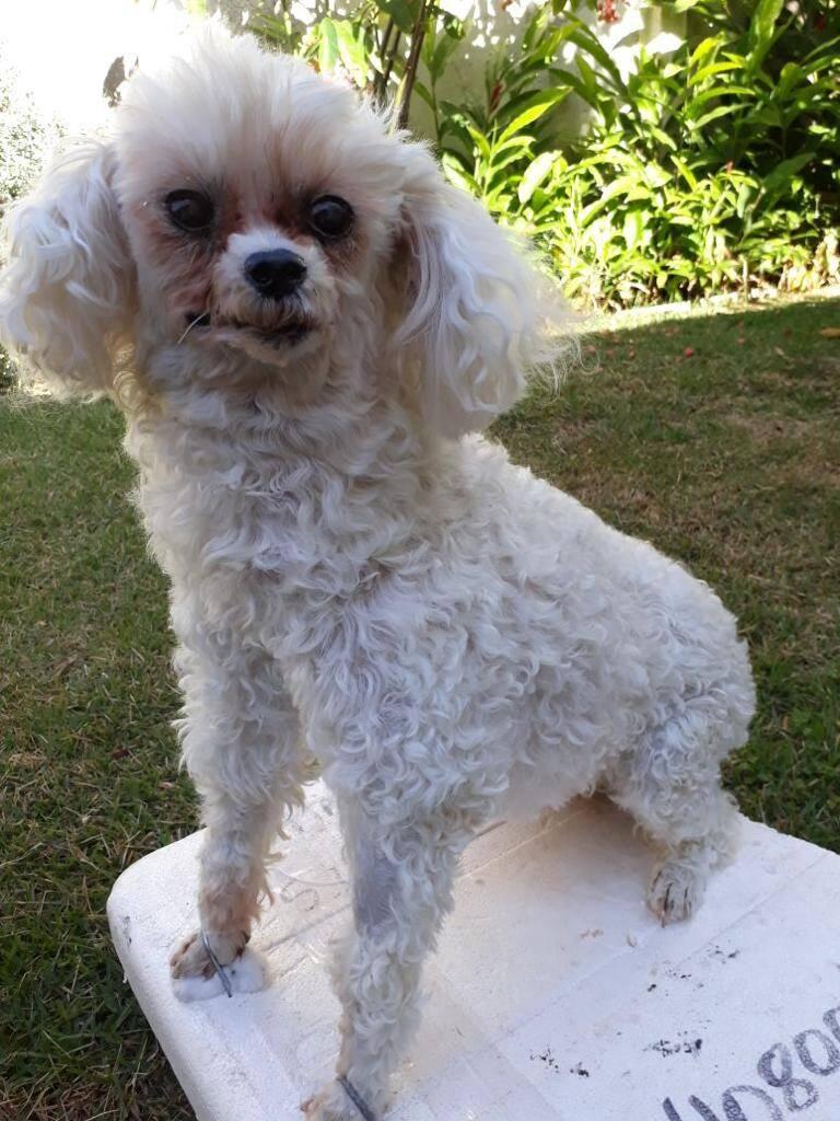 Um cãozinho da raça poodle taxidermizado . Foto: Reprodução/SOS Animal