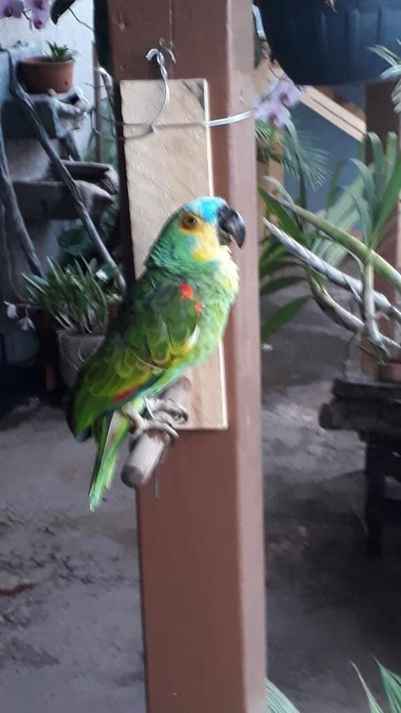 O papagaio continua em seu poleiro. Foto: Reprodução/SOS Animal