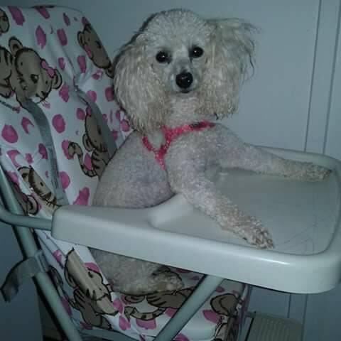 Esta é a Pink, ela tem setes anos e é uma poodle muito arteira. Que gracinha!. Foto: Gilmara Naivert
