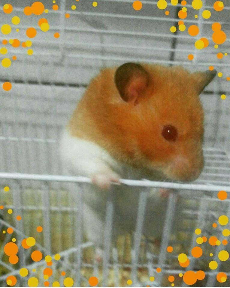 Lord, o hamster sírio que é a paixão da Alinne. Fofinho!. Foto: Alinne Rodrigues Ortega Correa