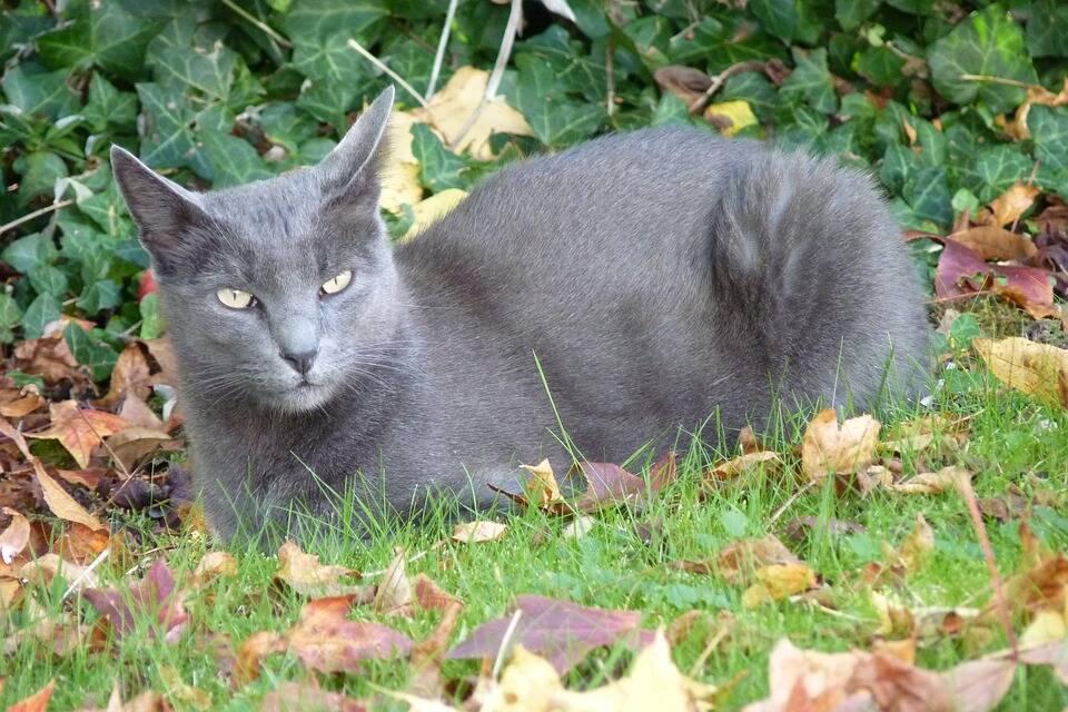 Os Korat foram considerados apenas uma variação dos gatos siameses quando chegaram aos Estados Unidos. Foto: Pixabay