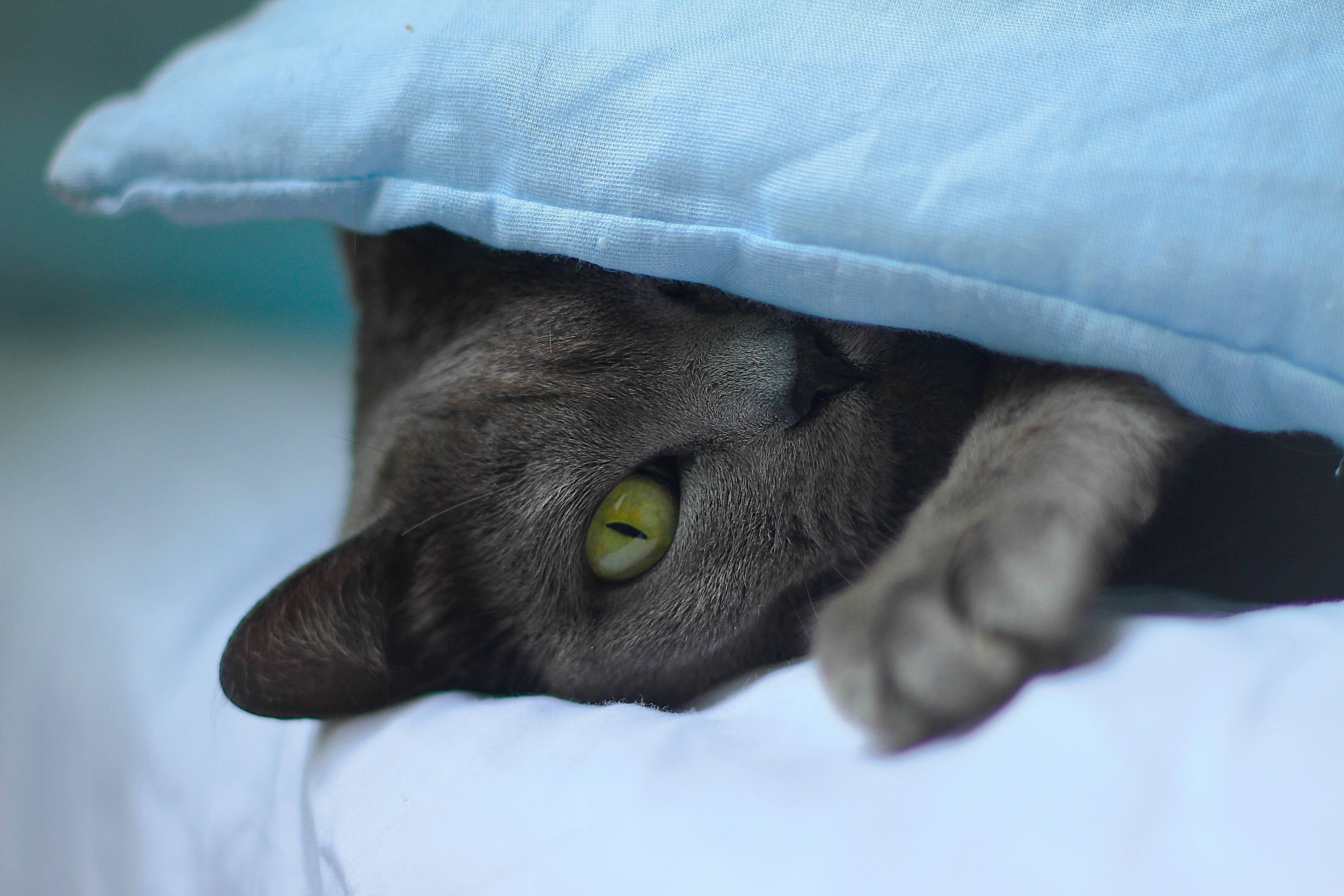 Lendas dizem que os Korat trazem boa sorte a quem ganha um desses gatinhos de presente. Foto: Marko Ganzaro